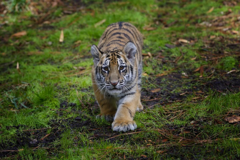 A rescued Bengal tiger cub and his companion, a Sumatran tiger cub