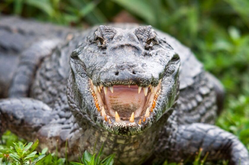 An alligator that killed a woman at a resort on Hilton Head Island (not pictured) has been euthanized.