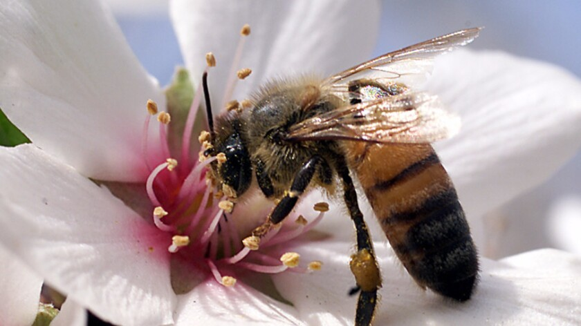 A honeybee works on an almond blossom on a farm south of Fresno.