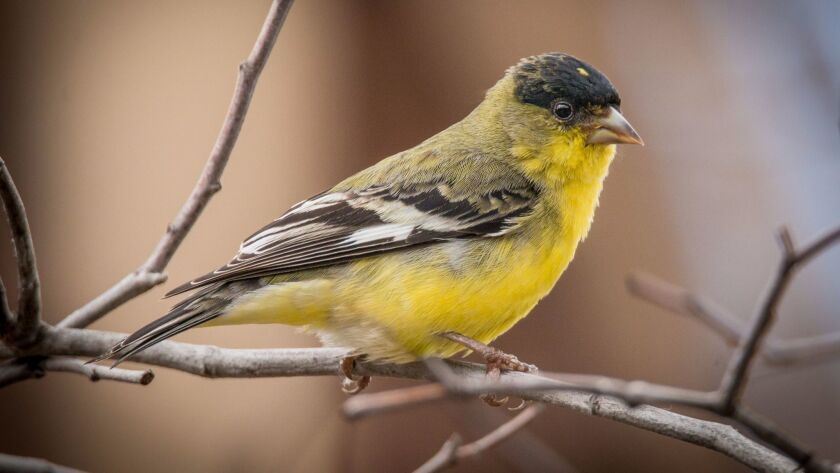 A male lesser goldfinch with the distinctive black cap.