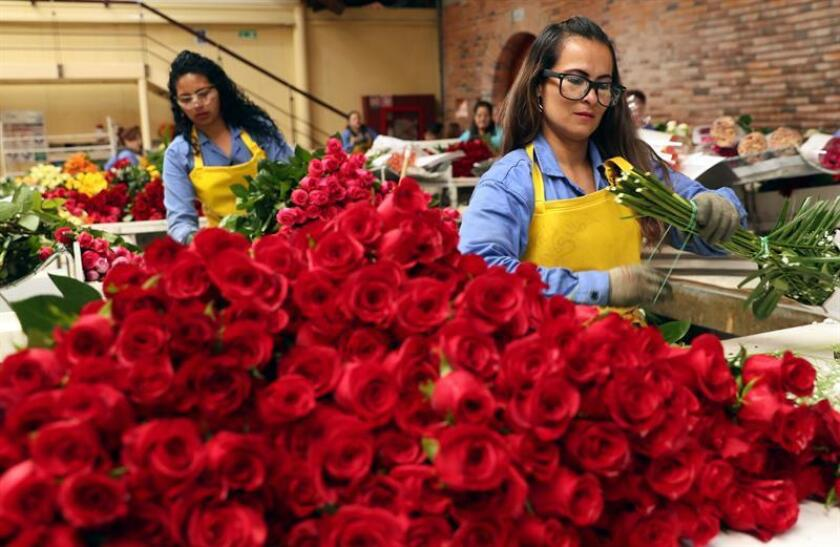 Workers of the Mongibello Estate prepare flower bouquets, in Chia, Cundinamarca, Colombia, 27 November 2018. The flower estates in Colombia have already started preparing for the exports of roses, hydrangeas, carnations, lilies, irises, and chrysanthemums for next year's Valentine's Day, with an increase of up to a 50 per cent of the sector's workers. EPA-EFE/Mauricio Duenas Castaneda