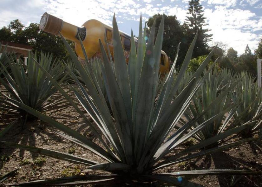 Una plantación de agave, en la ciudad de Tequila. EFE/Archivo