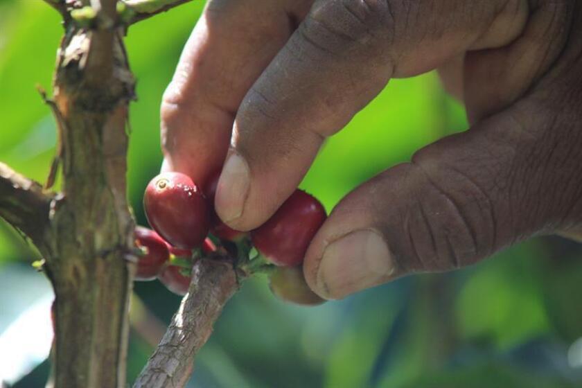 El secretario de Agricultura de Puerto Rico, Carlos Flores, invitó hoy a que 1.000 personas se unan al recogido del café en el periodo más productivo de la cosecha local, con el fin de poder recolectar alrededor de 20.000 quintales del grano. EFE/Archivo