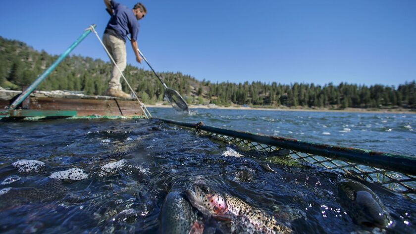 Logan Huefner plants trout in Big Bear Lake. Big Bear Lake currently stocks trout from a Fish and Wildlife hatchery in Northern California.