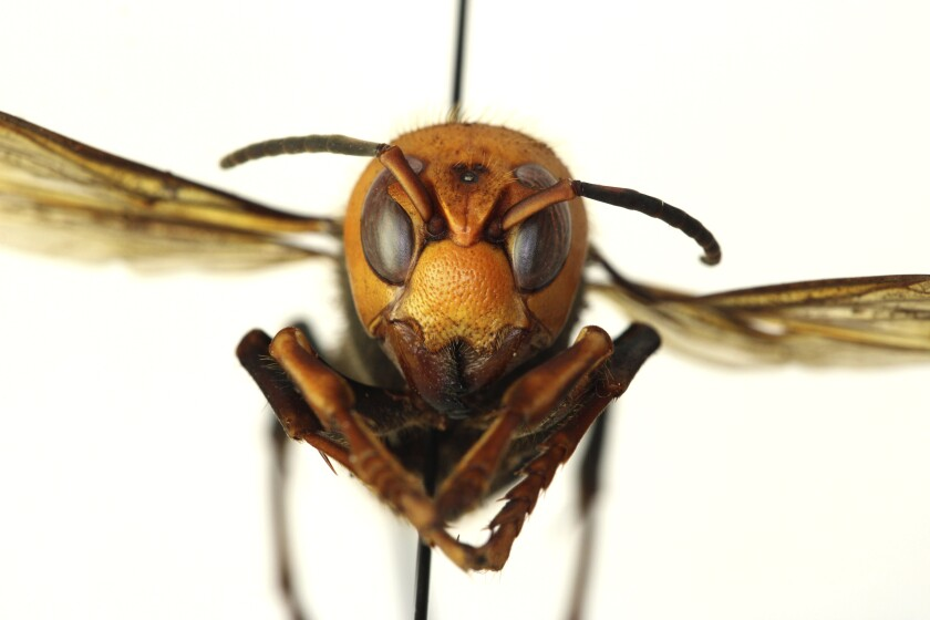"A dead giant hornet, known as a ""Murder Hornet"""