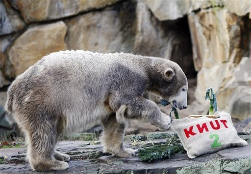 Polar bear Knut walks towards his birthday presents in the zoo in Berlin, Germany, Friday, Dec. 5, 2008. Knut the superstar polar bear turned 2 on Friday looking nothing like the button-eyed ball of white fluff who captured hearts around the world. (AP Photo/Miguel Villagran)