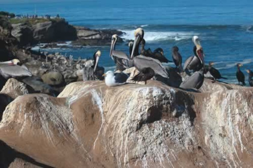 Foul-smelling excrement from birds and marine mammals covers the rocks along La Jolla Cove. File photo