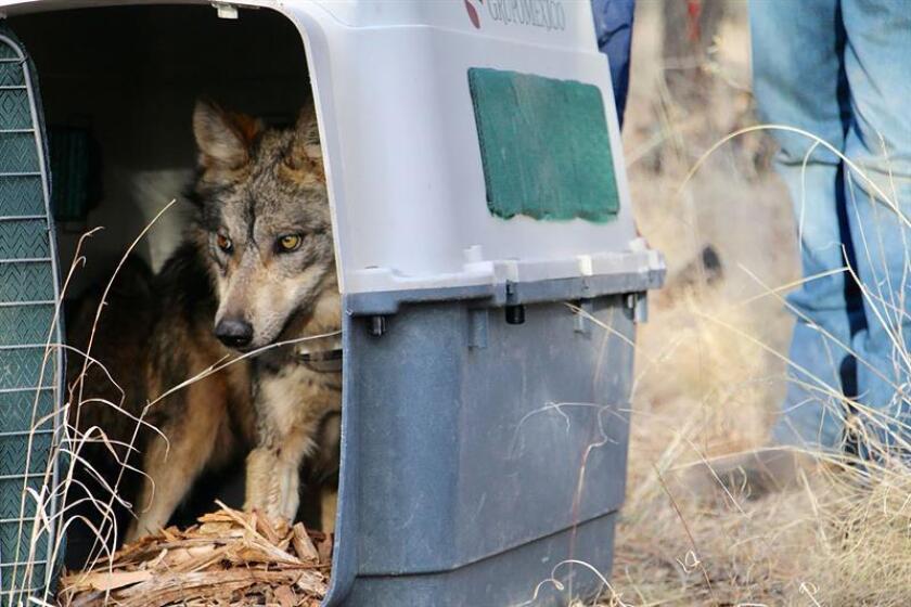 Fotografía cedida hoy, viernes 9 de febrero de 2018, por la Secretaría de Medio Ambiente y Recursos Naturales (Semarnat), que muestra la liberación de cinco ejemplares de lobo en los bosques del estado de Chihuahua (México). EFE/Napoleon Pillat Ordoñez/SEMARNAT/SOLO USO EDITORIAL