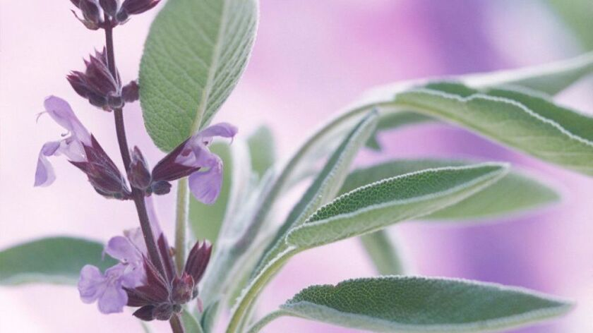 Sage, Salvia officinalis. (Photo by FlowerPhotos/UIG via Getty Images) ** OUTS - ELSENT, FPG, CM - OUTS * NM, PH, VA if sourced by CT, LA or MoD **
