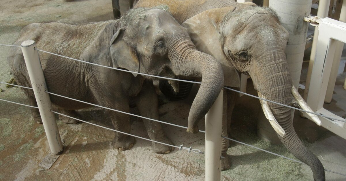 Elderly Elephant Pair Get To Move Together The San Diego Union Tribune