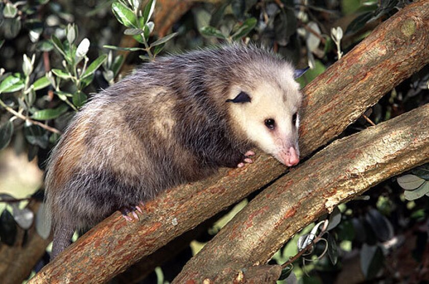 The opossums found in Southern California immigrated here at least 100 years ago from the southeastern United States. Opossums are marsupials like kangaroos and koalas.