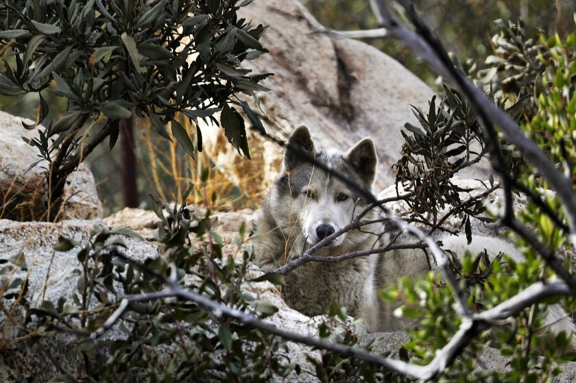 A wolf dog walks at the Wolf Connection ranch in Angeles National Forest.