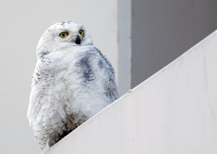 FILE - In this Jan. 24, 2014 file photo, a snowy owl rests on a ledge of a building in Washington. Reports from tens of thousands of bird-counting volunteers show a southern invasion of Arctic-dwelling snowy owls has spread to 25 states, and frigid cold is causing unusual movements of waterfowl. (A