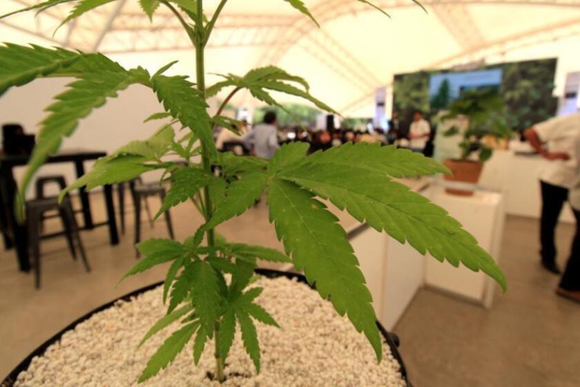"""Una planta de marihuana es vista durante la reunión del """"CannaMéxico World Summit"""" que se celebra en la población de San Francisco del Rincón, en el estado de Guanajuato (México). EFE/Archivo"""