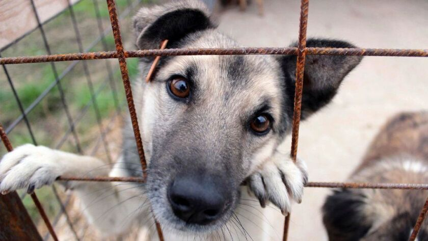 In this photo taken on Tuesday, Oct. 25, 2016, a stray dog peers from out of his cage at a dog shelter in Targu Frumos, a small town in the north east of Romania.