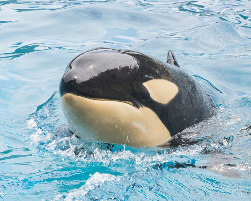 In this March 18, 2015 photo, Amaya, a 6-year-old female orca, swims at the park. Amaya died unexpectedly on Thursday.