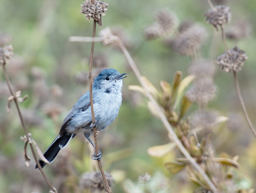 A California gnatcatcher.