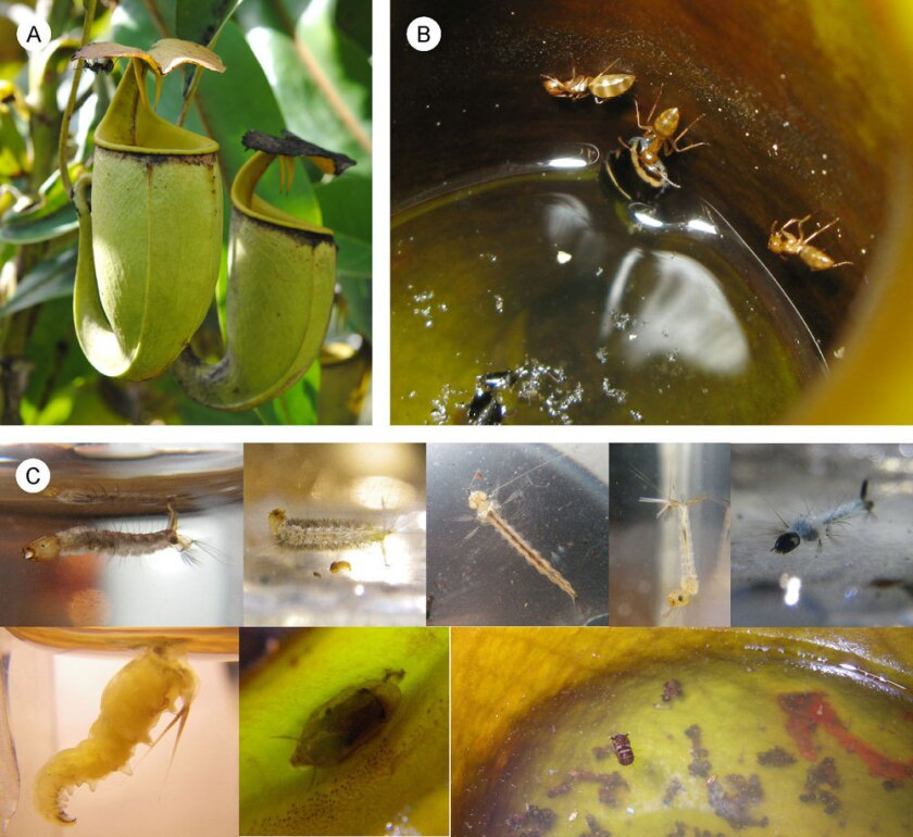 The carnivorous pitcher plant Nepenthes bicalcarata (A) and the ant Camponotus schmitzi (B) team up to fight fly larvae (C) that steal the plant's prey.