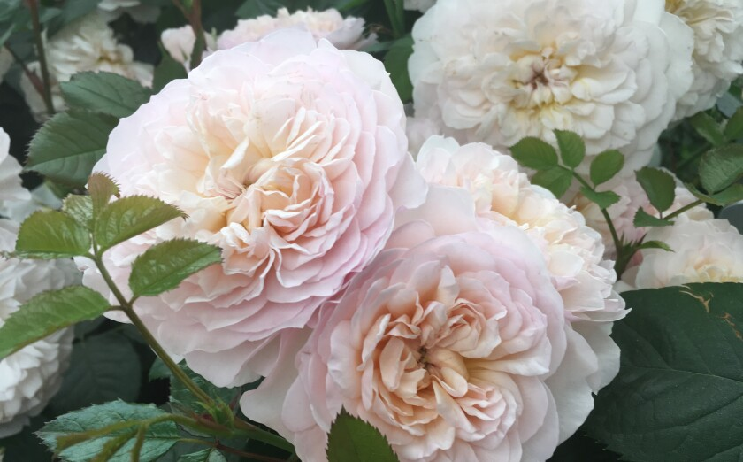 Emily Bronte is a very fragrant David Austin rose; it's soft pink with apricot inner petals.