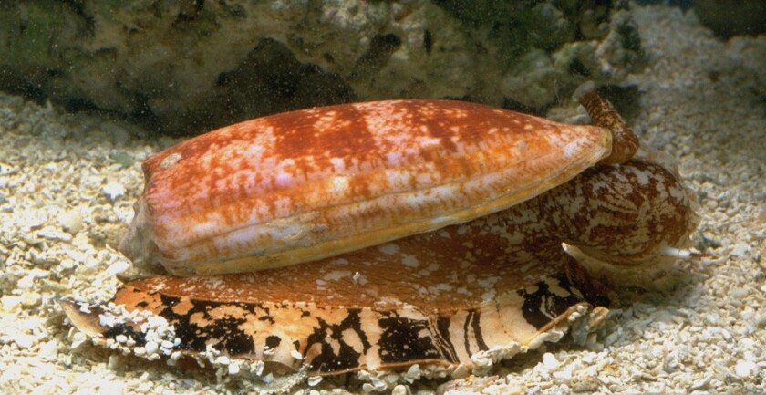 The ocean's deadliest predators are as un-sharklike as can be imagined. The slender, demure cone snail grows a maximum of 3 inches long, but it can kill a human with a single jab from its small, harpoon-like tooth. These snails specialize in hunting fish, and they have evolved a potent venom that shuts down nerve and muscle function in an instant.