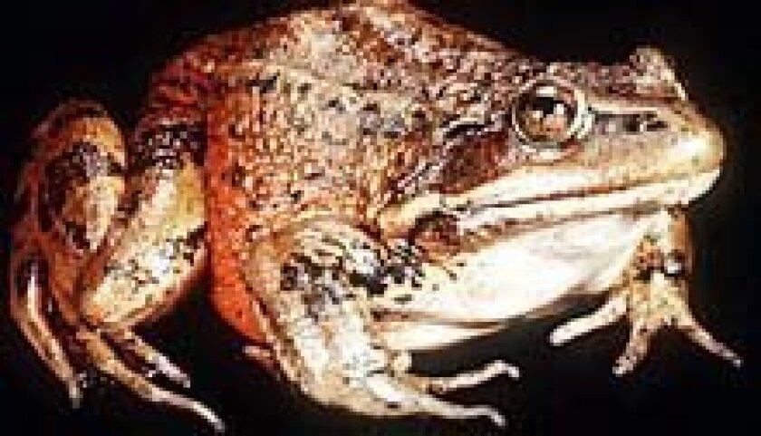 California red-legged frog.