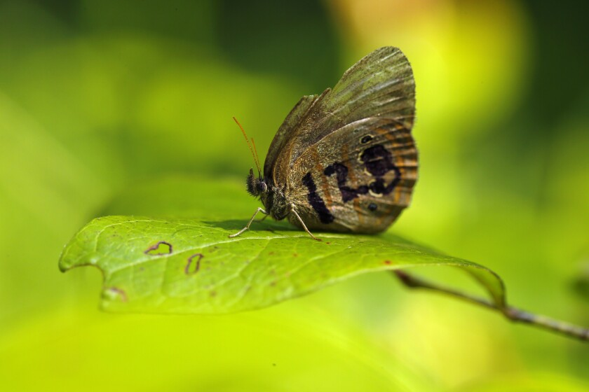 A St. Francis' satyr butterfly rests on a leaf