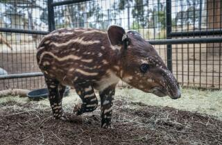 San Diego Zoo welcomes first endangered Baird's Tapir in 30 years