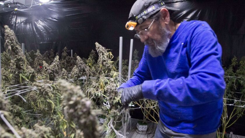 Steve Moya cuts down marijuana plants at OutCo, a marijuana growing facility in unincorporated El Cajon.