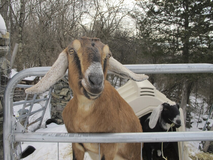 In this Jan. 24, 2020 file photo, Lincoln, a Nubian goat, stands in her pen in Fair Haven, Vt. A goat and a dog who were each elected mayor of a Vermont town have helped raise money to renovate a community playground. The Fair Haven town manager came up with the oddball idea of pet mayor elections to raise money and to help get local kids civically involved. (AP Photo/Lisa Rathke)