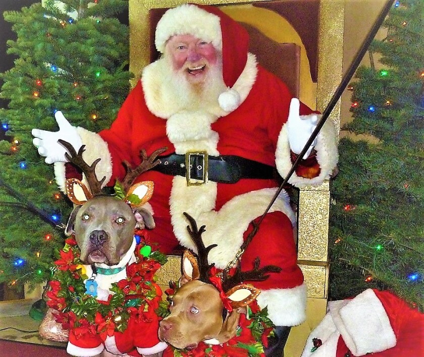 """Balboa Park's longtime """"December Nights""""' Santa Claus gets a belly laugh out of the pitbull reindeer brought by a holiday visitor."""