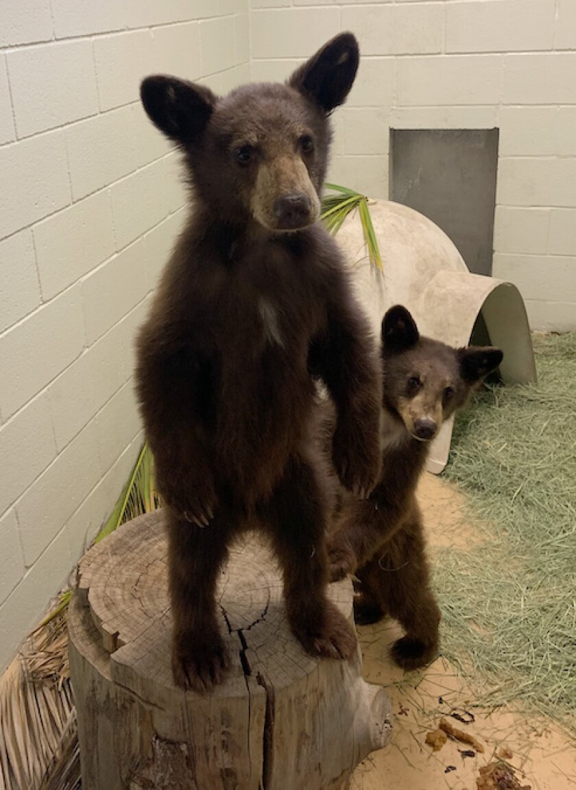 Two 6-month-old bear cubs foraging on their own for human food are now receiving care at Ramona Wildlife Center.