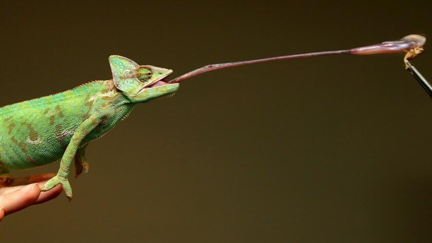 Chameleon tongue
