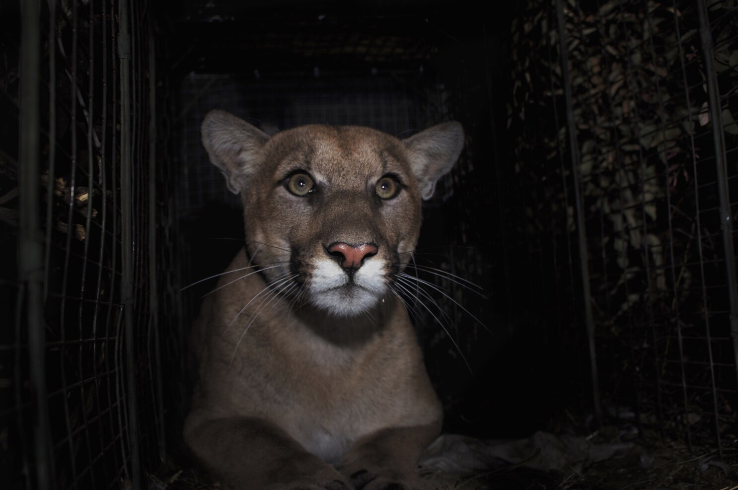 Letters to the Editor: Our freeways kill mountain lions. Caltrans should fix that — now