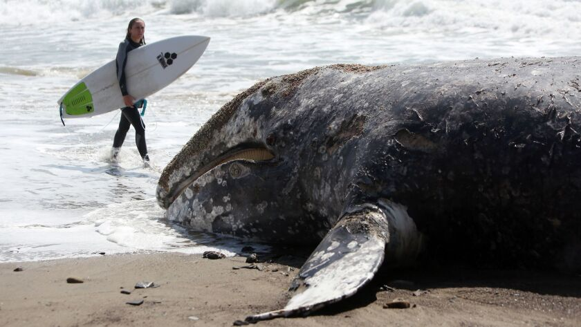 LOS ANGELES, CA-MARCH 24, 2019: A surfer walks past a beached whale in Malibu at County Line Beach o