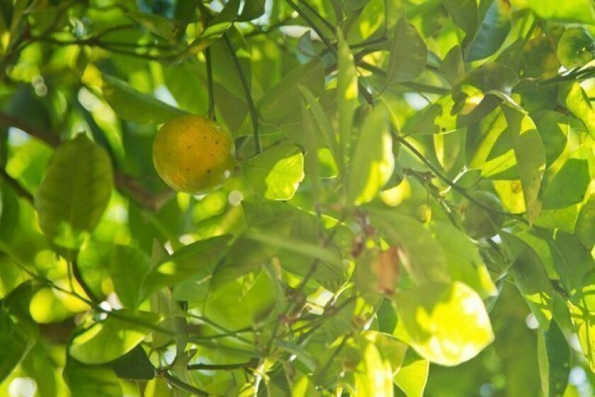 Calamondin, sometimes called kalamansi, ripens on a mature tree in the backyard of Boni Liscano in Atwater Village.