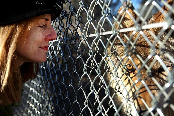 Lori Lindner, co-founder and president of the Lockwood Valley Animal Rescue Center in the Los Padres National Forest, gets acquainted with one of the 29 wolf dogs she and her husband, Matthew Simmons, relocated to the sanctuary after they were seized from a roadside attraction near Anchorage. See full story