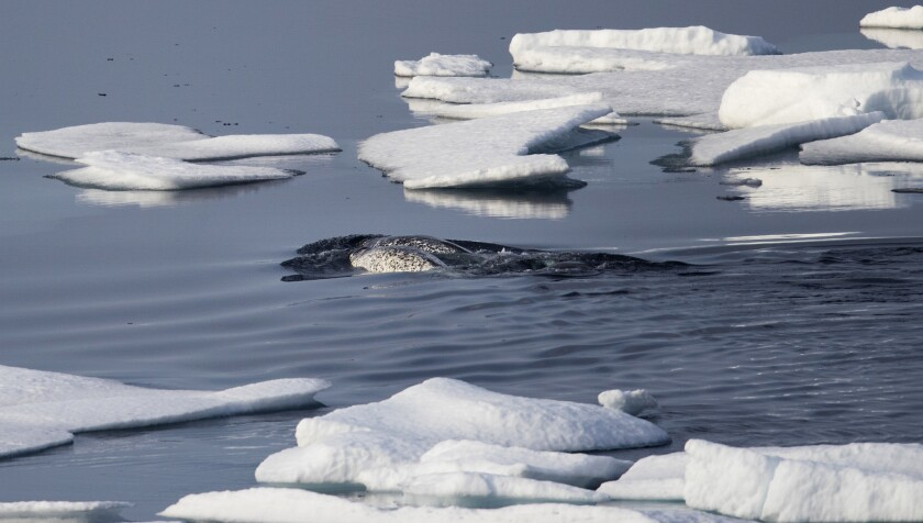 Narwhals swim between sea ice in the Canadian Arctic archipelago.