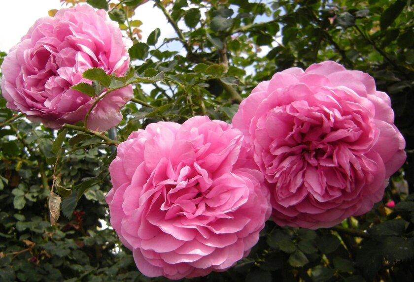 """Gertrude Jekyll"", a David Austin rose.  Rita Perwich photo"
