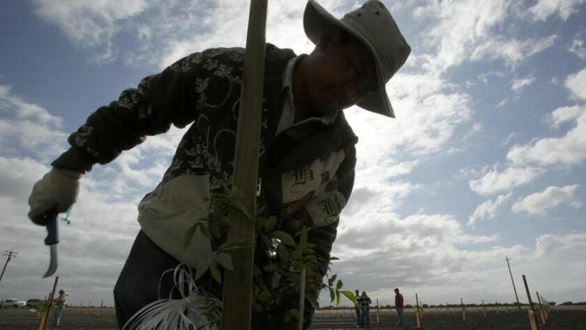 Armando Montejano revisa un árbol de pistacho en una granja en Buttonwillow, California.