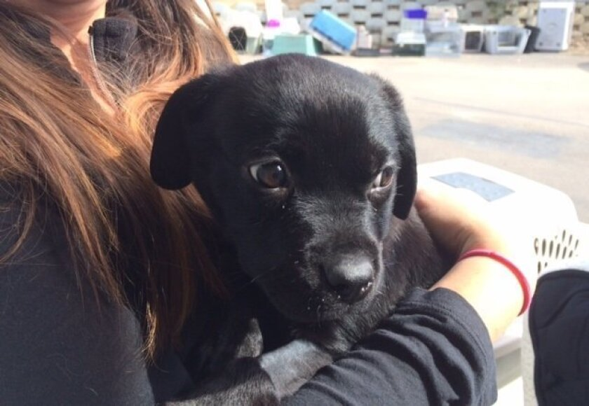A volunteer with the  Rancho Coastal Humane Society in Encinitas holds Bindy, a  three month old puppy who had to undergo surgery to remove a rubber band that had been wrapped around her neck.