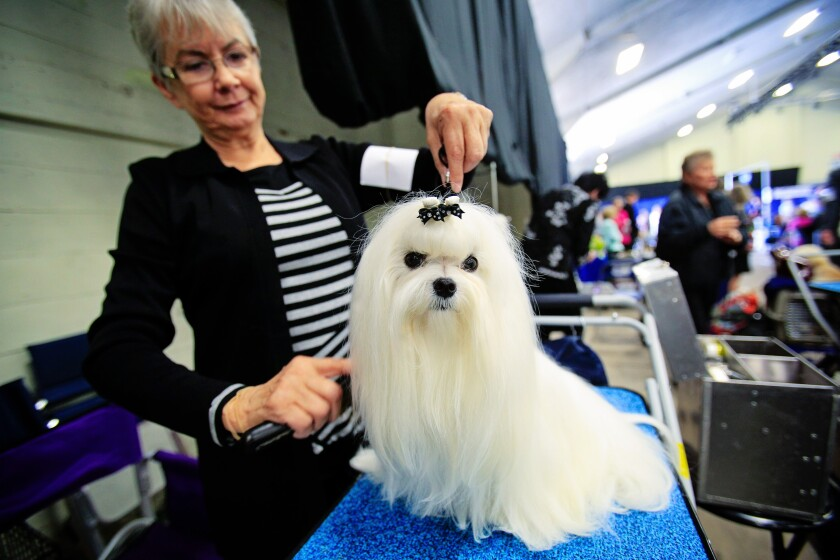 Donna Meek combs Tabatha's hair before competing with other Maltese dogs at the Silver Bay Kennel Club Show in Del Mar.