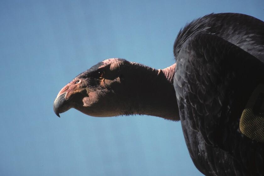 Sisquoc California Condor