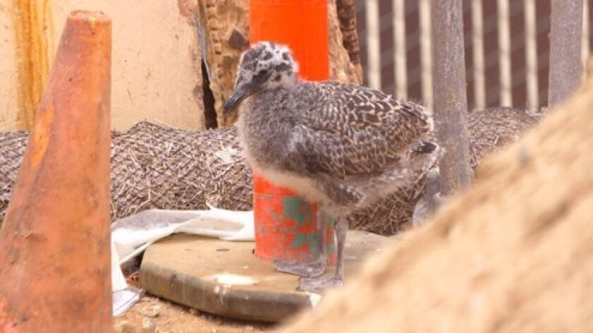 seagull-chick-at-lifeguard-station-5