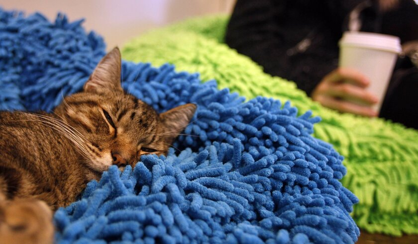Checkers finds this fluffy location just right for a nap at the Cat Cafe.