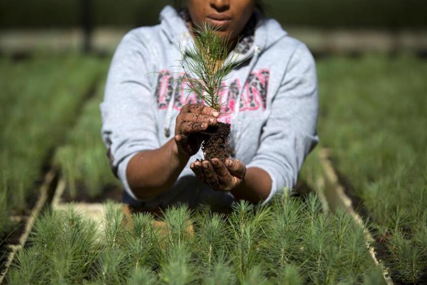 Fotografía de archivo fechada el 26 de junio de 2017 que muestra a una mujer mientras cuida un semillero de pinos en Cherán, estado de Michoacán (México). EFE