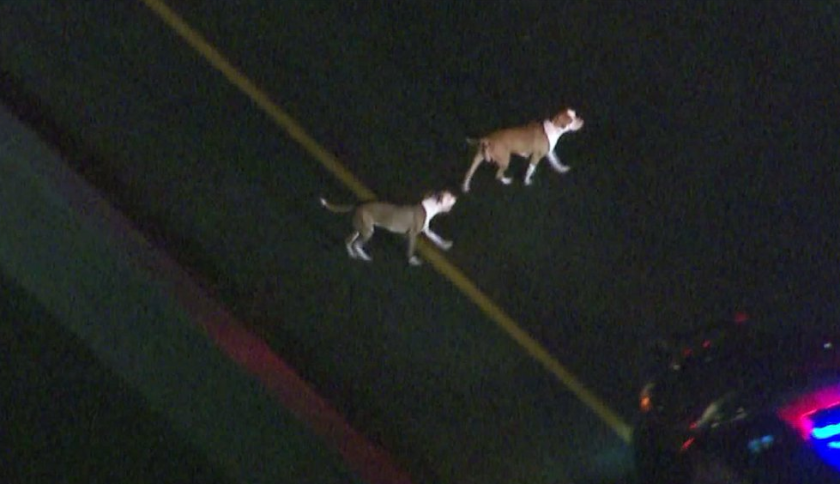 Several dogs roamed the 710 Freeway on Monday night after exiting a car involved in a police pursuit.