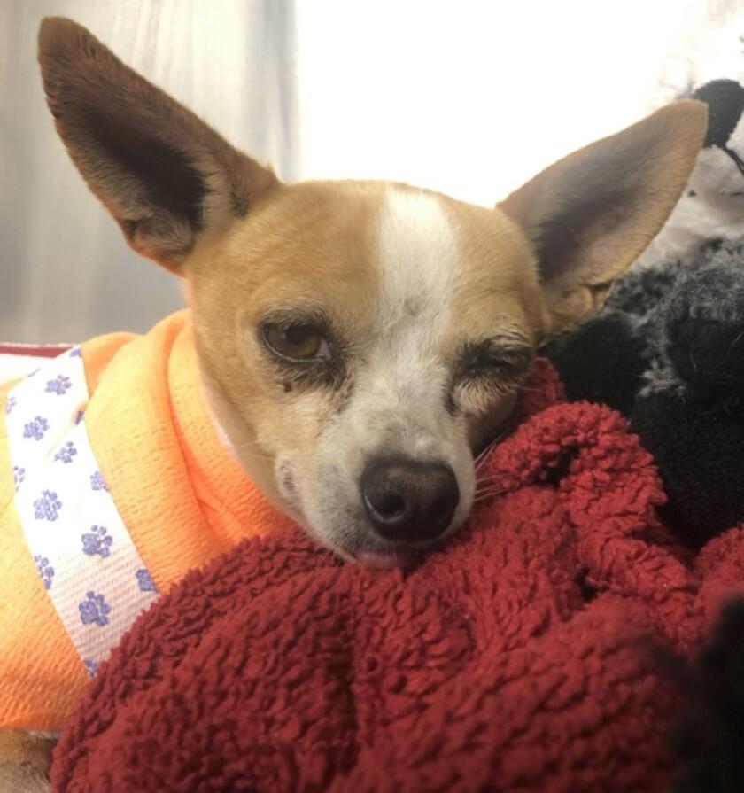 Close-up photo of injured Chihuahua