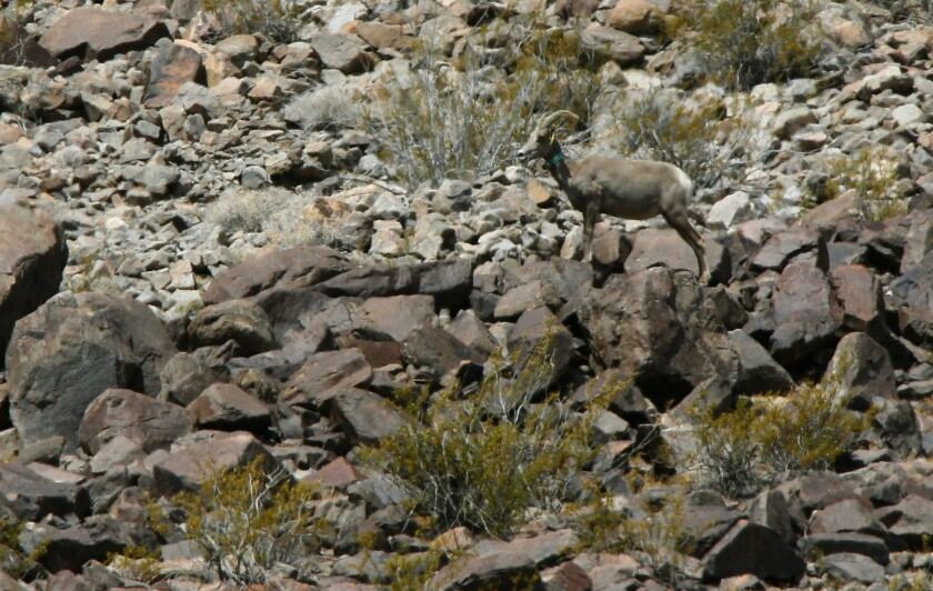 A bighorn sheep perches at the rocky base of Soda Mountain in the Mojave National Preserve near Baker, Calif. Its green collar indicates that it is being monitored by federal biologists.