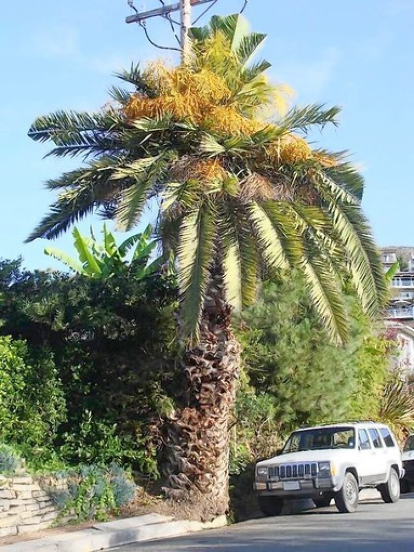 Canary Island date palms, like this tree just a block from the initial infestation , are threatened by the Red Palm Weevil.