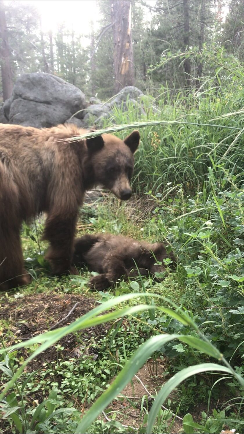 A mother bear stands over the body of her cub, killed by a vehicle in Yosemite National Park.